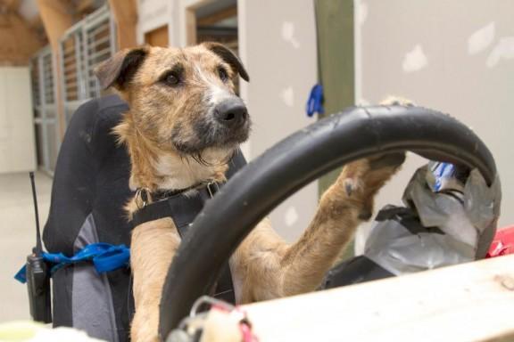 Des chiens conduisent une mini cooper - VPN Autos distributeur automobie multimarques à prix malin